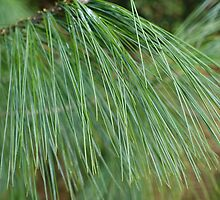 Pretty, soft  green pine needles.  by naturematters