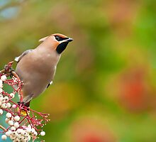 waxwing 3 by Steve Shand
