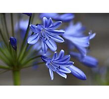 Blue Agapanthus Flower Photographic Print