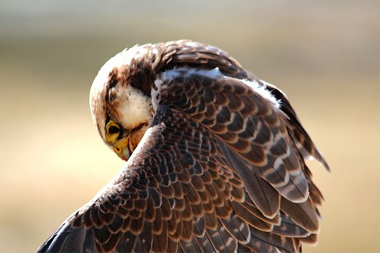 Lanner Falcon by Larry Trupp