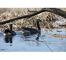 Tranquil Canada Geese  Photographic Print
