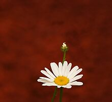 Simply Daisy iPhone by Richard G Witham