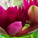 Lillys.. by debsphotos