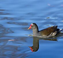 Common Moorhen Reflection by Sue Robinson