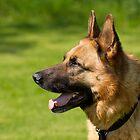 German Shepherd Dog by Sue Robinson