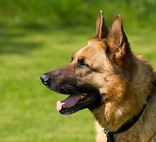 German Shepherd Dog by Sue Robinson