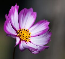 Cosmea  by Karen Havenaar