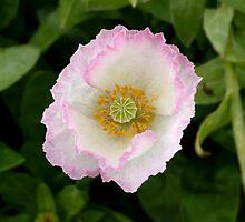 Delicate Poppy by Jess Meacham