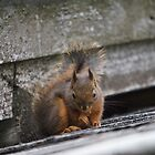 Little Red squirrel by Rainydayphotos