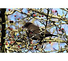 BLACK BIRD EATING . Photographic Print
