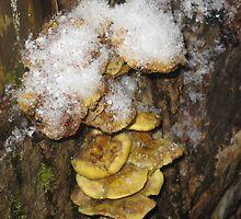 Snowcapped mushrooms by Rainydayphotos