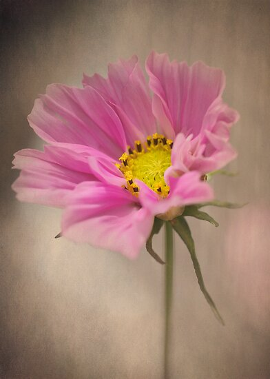 Gently Cosmos by Clare Colins