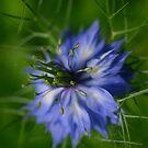 Nigella by Clare Colins