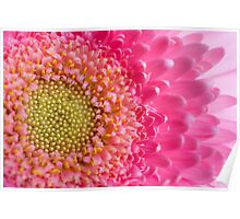 Pink and Yellow Macro Photography Daisy Poster