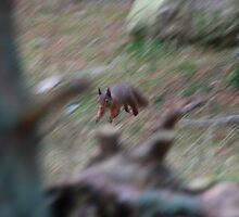 Red Squirrel in motion by jd-photography