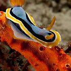 Nudibranchs by Erik Schlogl