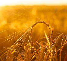 Barley Sunset by Adrian Young