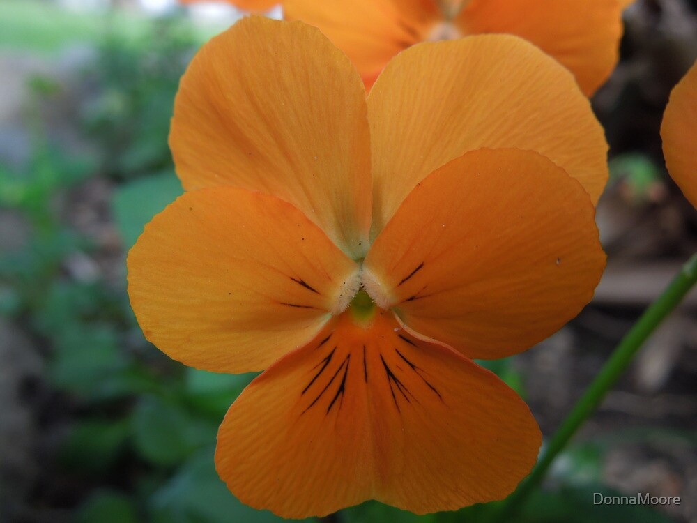 """Apricot colored """"Johnny Jump Up"""" by DonnaMoore"""