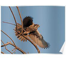 120112 Prairie Falcon Poster