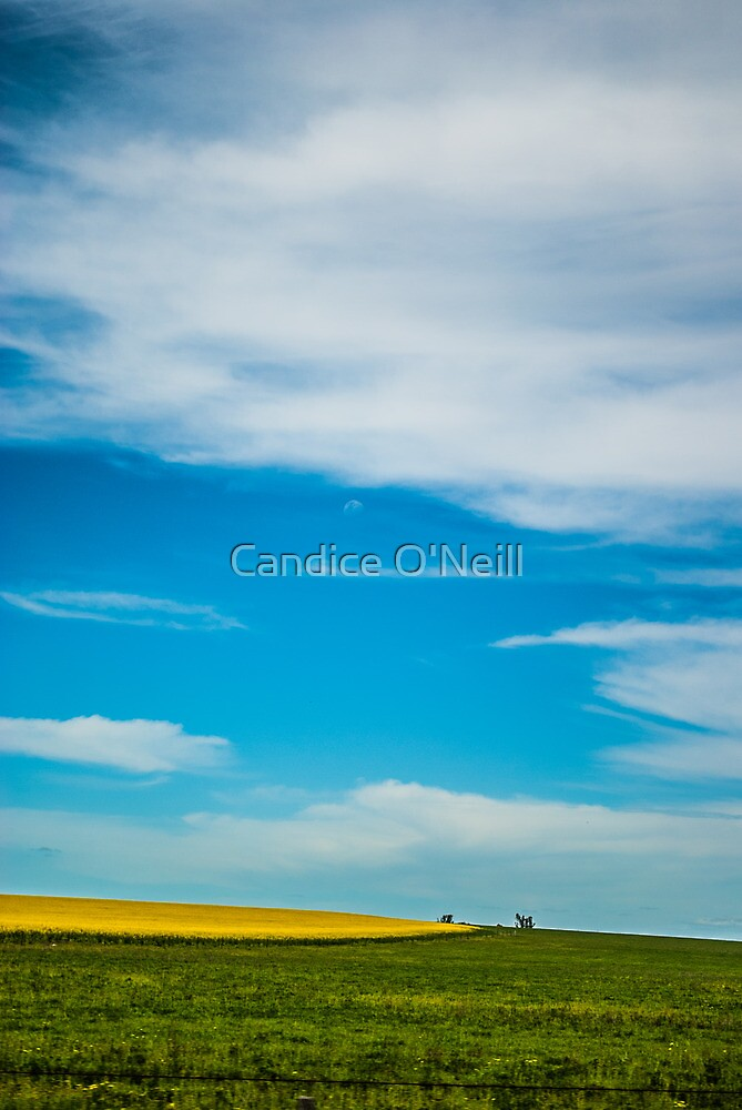 Canola in Big Sky Country by Candice O'Neill