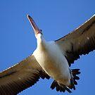 """Pelican Overhead"" by jonxiv"