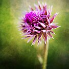 Flowering Thistle by deserttrends
