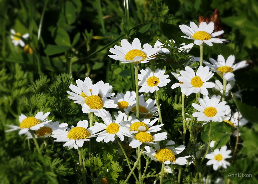 Cluster of Daisies by AnnDixon