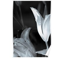 Oriental Lily Study5  Poster