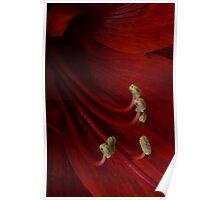 Red Amarillis Poster