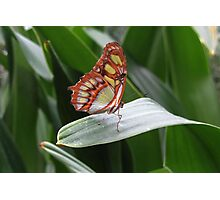 Butterfly between de Leaves Photographic Print