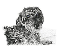 Schnell, Wire Haired Dachschund Photographic Print