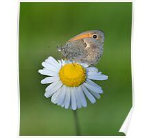 Butterfly on a Daisy Poster