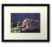 Female lion eating fresh red meat Framed Print