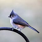 Tufted Titmouse Portrait by Renee Blake