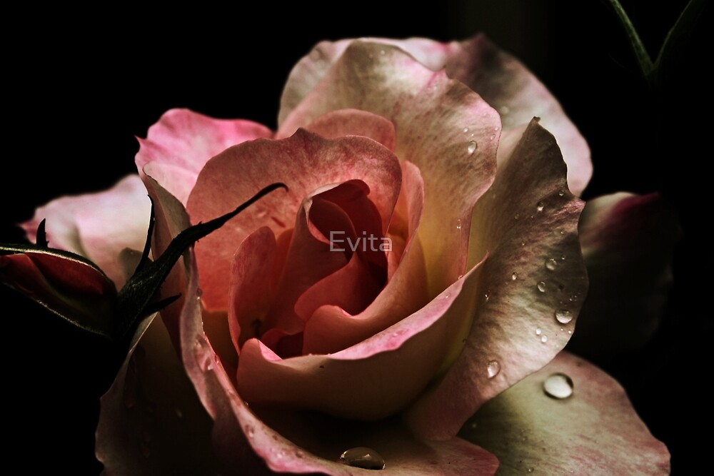 Blushing Rose by Evita