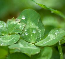 Clover and Dew by SheenaMarie