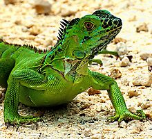 Iguana by Larry Baker