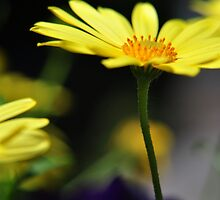 Tall Yellow Flower by pmi-photography