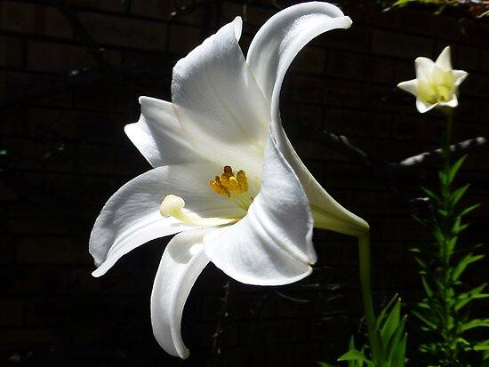 Christmas Lily by simonescott