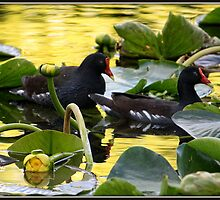 Gallinules on Golden Pond by Mikell Herrick