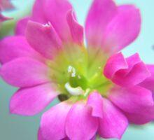 Magenta Flower, Turquoise Background Sticker