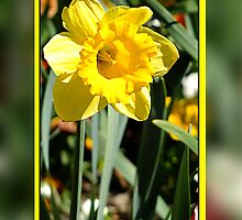 Daffodil by Julia Harwood