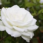 White Rose by dsimon
