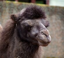 Close up of a camel's head by Russell102