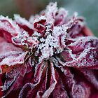 Frosted Rose by Nicole  Markmann Nelson