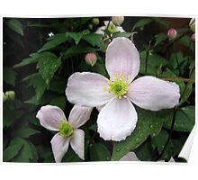 Raindrops On Clematis Blossoms Poster