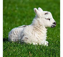 Lamb - A Newborn Photographic Print