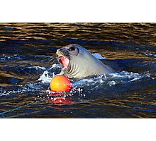 Elephant Seal Marlo Vic. Australia Photographic Print