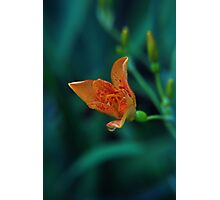 Tiger Lily with Water Drop Photographic Print