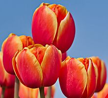 Tulips in the sky by Lindie Allen